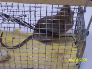 Szczur w pułapce