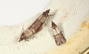 Omacnica spichrzanka (2)